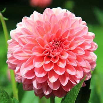 Pink-Daliah 2